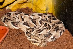 Puff Adder in Terrarium Royalty Free Stock Photography