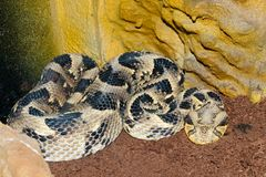 Puff adder in terrarium Stock Photo