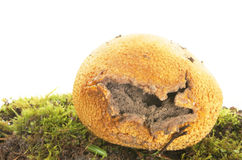 Puff ball fungi Stock Photography