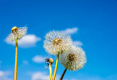 Puff flower in spring Stock Images