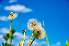 Puff flower in spring Stock Photos
