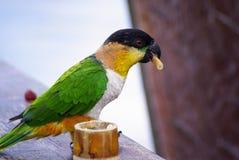 Puff Parrot Royalty Free Stock Photos