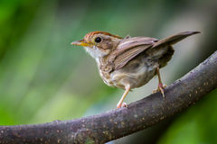 Puff-throated Babbler Royalty Free Stock Photography