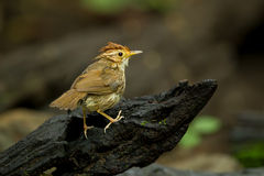 Puff-throated Babbler Stock Images