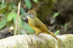 Puff-throated bulbul (Criniger pallidus) Stock Photography