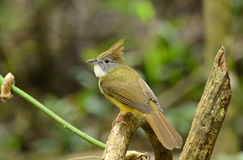 Puff-throated bulbul (Criniger pallidus) Stock Image