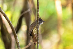 Puff-throated Bulbul songbird olive yellow bird with puffy white Stock Photo