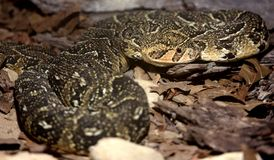 Puffadder Snake Royalty Free Stock Photos