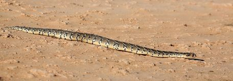 Puffader Snake Reptile Royalty Free Stock Images