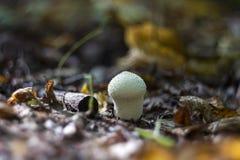 Puffball гриба в древесинах осенью среди сухих хворостин, Стоковые Изображения