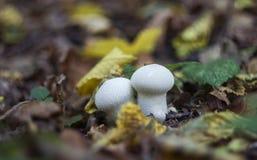 Puffball гриба в древесинах осенью среди сухих хворостин, Стоковое Изображение RF