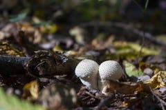 Puffball гриба в древесинах осенью среди сухих хворостин, Стоковое Фото