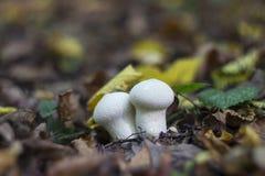 Puffball гриба в древесинах осенью среди сухих хворостин, Стоковое Изображение
