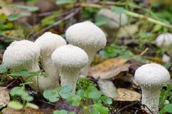 Puffball гриба в древесинах Стоковые Фото