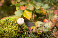 Puffball гриба на мхе в лесе осени Стоковое фото RF