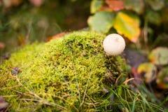 Puffball гриба на мхе в лесе осени Стоковые Изображения