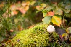 Puffball гриба на мхе в лесе осени Стоковое Фото