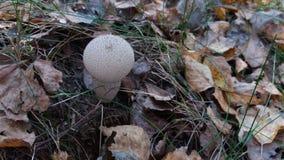 Puffball детенышей общий окруженный листьями осени Стоковые Фотографии RF