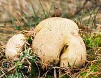 puffball отравы pigskin Стоковое Изображение