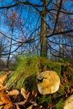 Puffball отравы Pigskin Стоковые Изображения