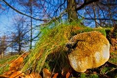 Puffball отравы Pigskin Стоковые Изображения RF