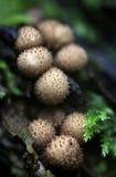 Puffball пня - pyriforme Lycoperdon Стоковая Фотография