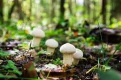 Puffball съестного гриба общий, perlatum Lycoperdon Стоковая Фотография