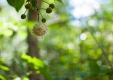 Puffball Buttonbush Стоковое Изображение RF