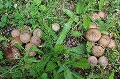 Puffball Colony Royalty Free Stock Photos