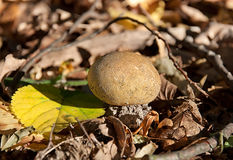 Puffball dans le feuillage d'automne Photographie stock