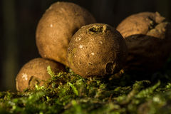 Puffball Royalty Free Stock Photography