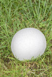 Puffball fungus covered in dew Stock Photo