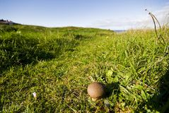 Puffball growing in the field Stock Images
