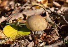Puffball im Herbstlaub Stockfotografie