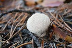 Puffball (Lycoperdon perlatum) Στοκ Φωτογραφία