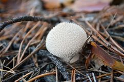 Puffball (Lycoperdon perlatum). In dry pine needles. Shallow depth of field Stock Photography