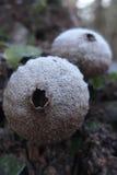 Puffball mushroom closeup shot Stock Photos