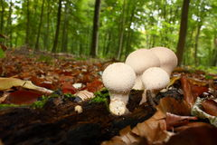 Puffball mushrooms in forest Stock Photos