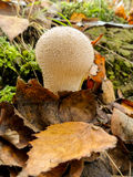 Puffball mushrooms Stock Images