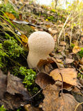 Puffball mushrooms Stock Photos
