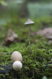 Puffball mushrooms on a stump Royalty Free Stock Image