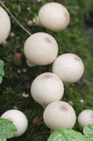 Puffball mushrooms on a stump Royalty Free Stock Photography