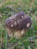 Puffball-Pilze - Calvatia utriformis Lizenzfreies Stockbild