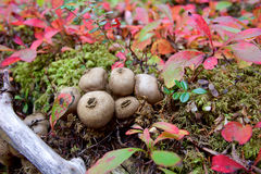 Puffballs in forest in Denali Royalty Free Stock Photography