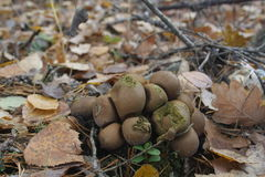 Puffballs Royalty Free Stock Images