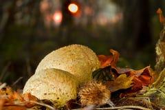 Puffballs i skog på solnedgången Arkivfoton