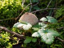 Puffballsvamp Fotografering för Bildbyråer