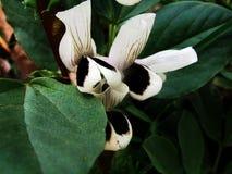 Puffbohneblumen Blumen Stockbild