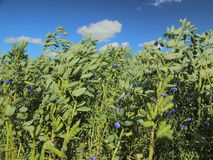 Puffbohnen (Viciabohne) auf einem Feld Stockbilder