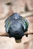 Puffed Bird on perch. Bird on perch with puffed out feathers royalty free stock photo